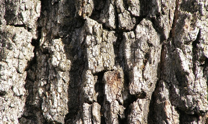 White oak bark benefits uses side effects supplement