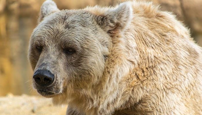 Dreams About Bears – Interpretation and Meaning
