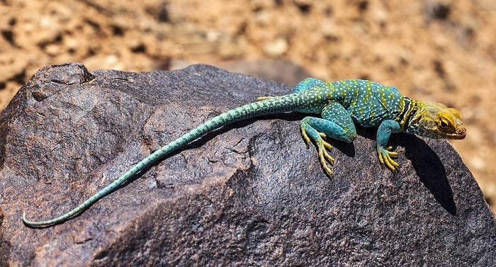 dreams about lizards � interpretation and meaning