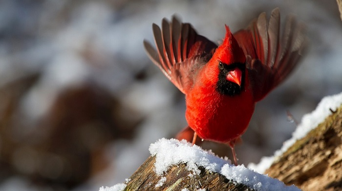 Red Bird Cardinal Spirit Animal Totem Symbolism And Meaning