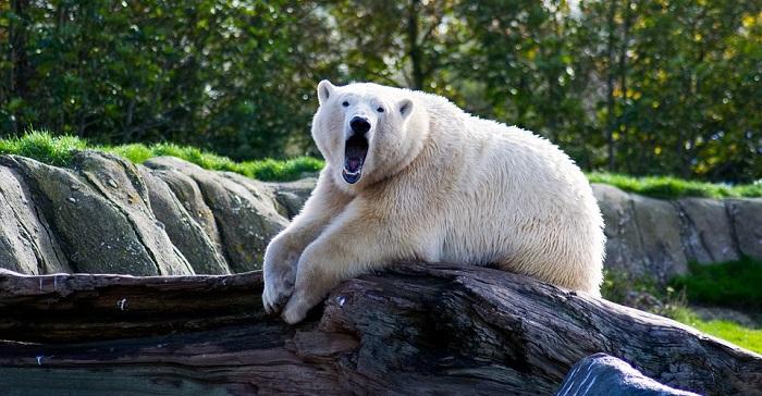Bear Spirit Animal Totem Symbolism And Meaning
