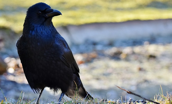 Dreams About Crows Interpretation And Meaning