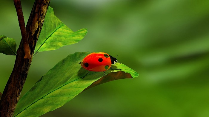 Ladybug Spirit Animal Totem Symbolism And Meaning