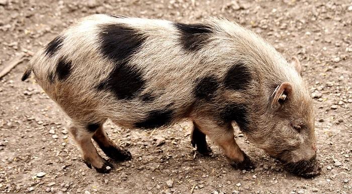 Pig Spirit Animal Totem Symbolism And Meaning