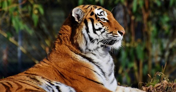 Tiger Spirit Animal Totem Symbolism And Meaning