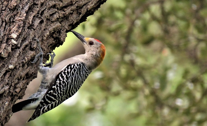 Woodpecker Spirit Animal Totem Symbolism And Meaning