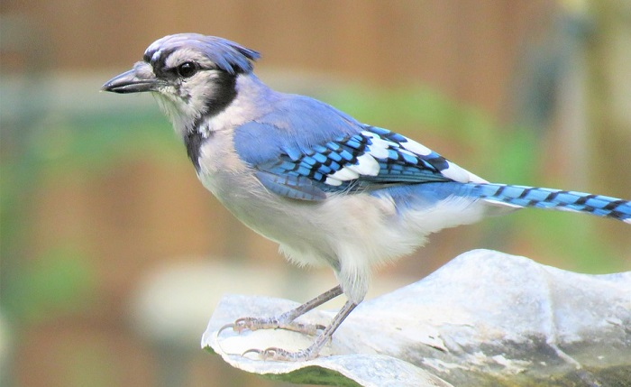 Blue Jay – Spirit Animal, Totem, Symbolism and Meaning