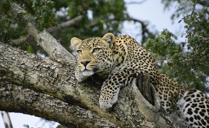Leopard Animal Totem Leopard Image Hd
