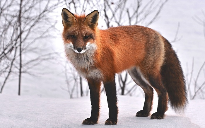 Dreams About Foxes – Interpretation and Meaning