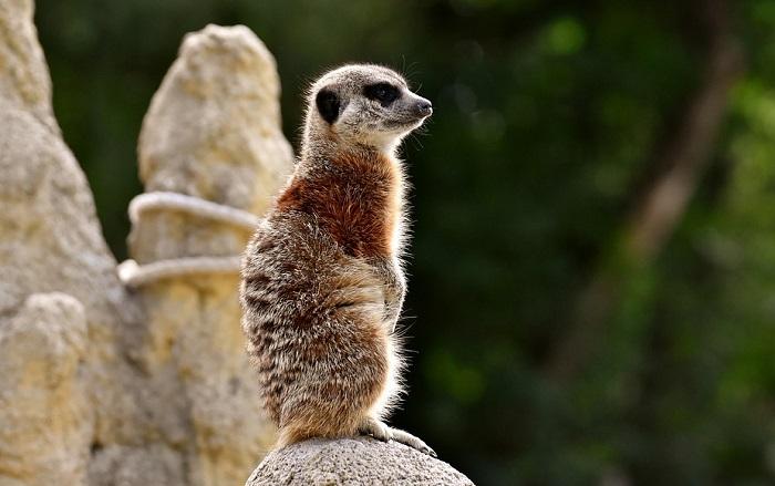 Meerkat Spirit Animal Totem Symbolism And Meaning